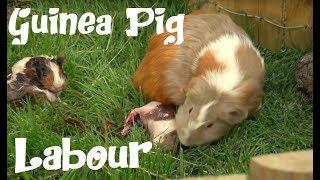 "GUINEA PIGS - The guinea pig labor - The hard labor of ""ANTOÑITO"" (little Antonio)."