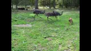 Emus and dog playing in the backyard.