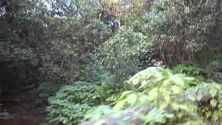 CHANDOLI. - CAR DRIVE THROUGH DENSE CHANDOLI JUNGLE 2..