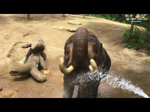 Xxx Mp4 Asian Elephant Raja Receives A Bath And Wellness Check At The Saint Louis Zoo 3gp Sex