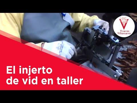 El injerto de vid en taller en Viveros Villanueva Vides