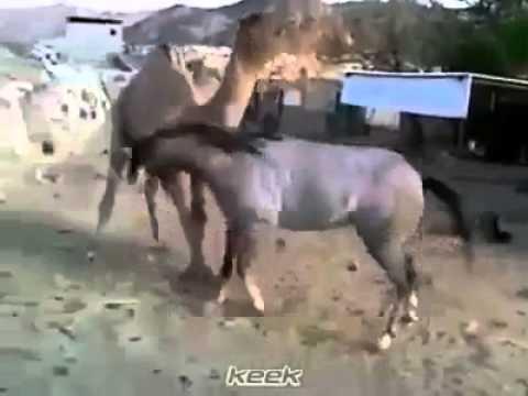Xxx Mp4 فيديو روعة حصان وجمل كانوا معا في حظيرة واحدة 3gp Sex