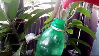 The roots of the Mango tree Side Joint Grafting Practical আম গাছের সাইডে শিকড় জয়েন্ট  গ্রাফটিং