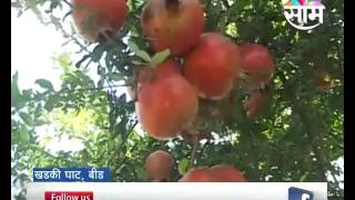 More brothers' pomegranate farming success story inspired from Agrowon