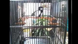 Burung Gelatik Wingko Sing Gacor Anteng Ala Kenari Not Blackthroat :D