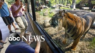 Sanjiv the tiger attacks zookeeper
