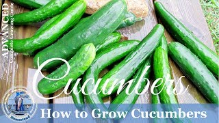 HD How To Grow Cucumbers Vertically on a Trellis