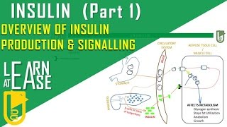 Insulin (Part 1)  Overview of Insulin Production & Signalling