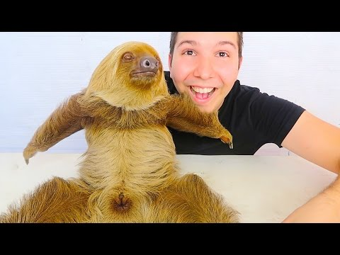 Xxx Mp4 MY CUTE BABY SLOTH Yes She S Real 3gp Sex