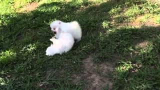 White 2 Male Pomeranian Puppies playing