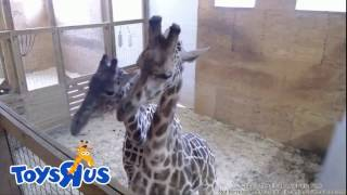 13.04.2017 ~18:05. April & Olver. Giraffe tenderness