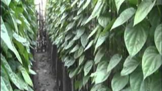 The betel leaf borouj in bangladesh