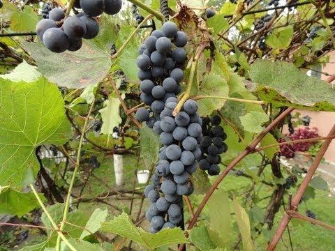 Jak zrobić wino z winogron krok po kroku