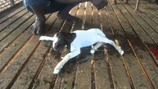 Boer goat giving birth to baby