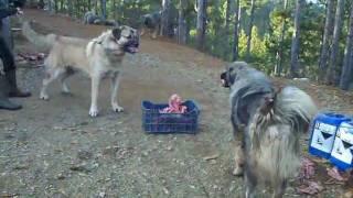 qent e sharrit Pukë 2