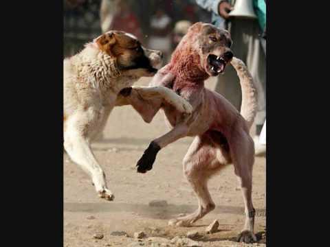 The Biggest Dog of the World Turkish Kangal Dog