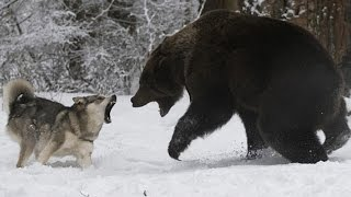 Badass Animals ★ Fearless Animals 2016 [Funny Pets]