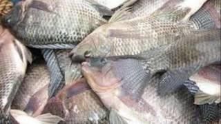 Cara Panduan lengkap budidaya ikan nila Terbukti Berhasil