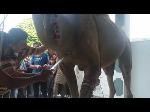 Billa g group camel qurbani 2016 gujranwala