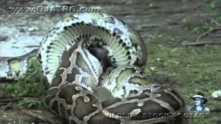 ular pyhton makan buaya