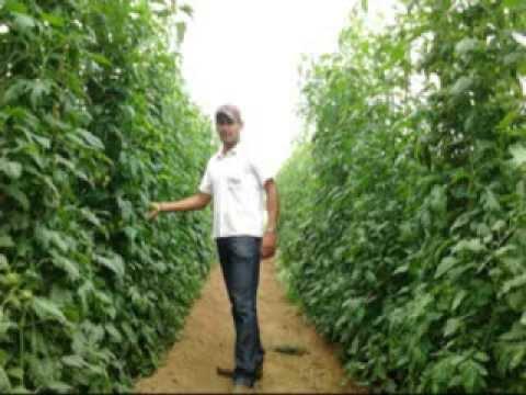 Cultivo de tomate pimentao etc