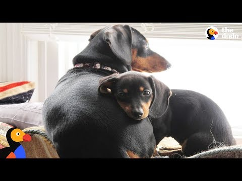Xxx Mp4 Disabled Dachshund Dog Who Loves To Ski Inspires People To Never Give Up The Dodo 3gp Sex