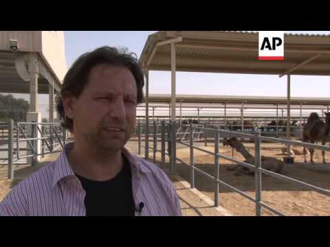 Camel milk products set to go global