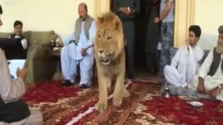 Lion in Afghanistan.