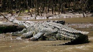 The giant crocodile 6 m | Animal Planet 2015 | Wildlife Documentary