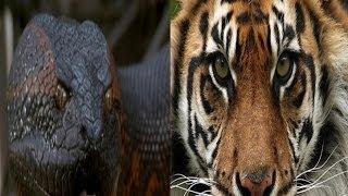 Giant Anaconda vs Felidae - Python vs Lion - Anaconda vs Cat - Anaconda vs Jaguar - Python