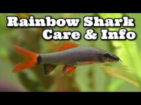 Xxx Mp4 Rainbow Shark Care Information How To Keep Rainbow Sharks Ruby Shark 3gp Sex