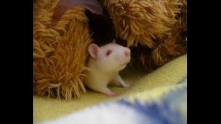 My Lovely rat