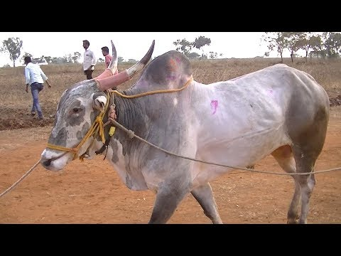 Xxx Mp4 Powerful Race Bulls Of Dhamane Belgaum 3gp Sex