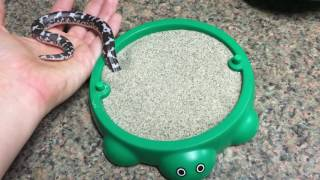 Waffle the Kenyan Sand Boa playing with his new toy!