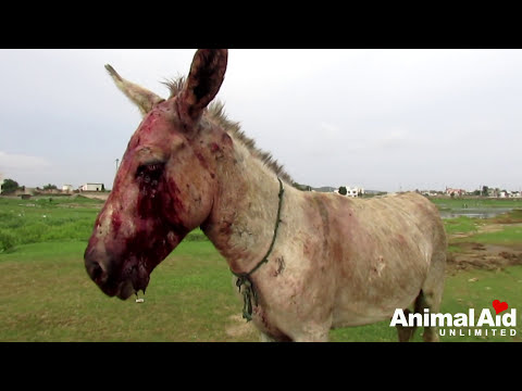 Xxx Mp4 Brutally Beaten Donkey Is Loved At Last 3gp Sex