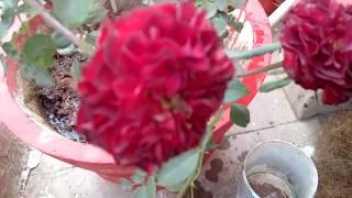 Mulching of Rose plants for marvelous benefits // मलचिंग से गुलाब को ठंढ, गर्मी ,फालतु पौधो से बचाए