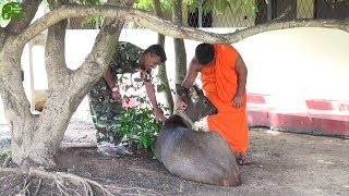 Sambar Deer finds a new home. Kind humans helping animals