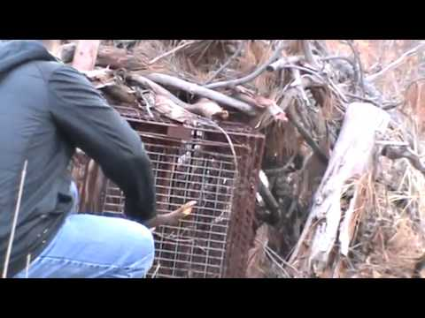 Mountain lion caught in hunter s trap