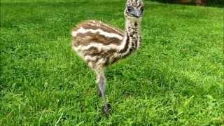 Young Emu Playing