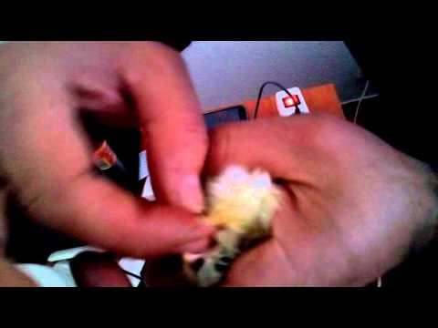 Sexado de pollitos y granito de pimienta