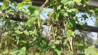 How to collect Aparajita flower seeds (Clitoria ternatea) Hindi