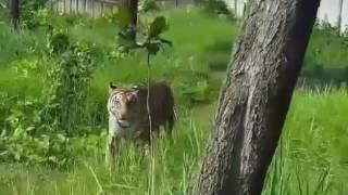 Royal Bengal Tiger in Bangladesh