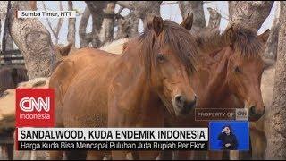 Sandalwood, Kuda Endemik Indoensia