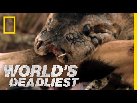 World s Deadliest Python Eats Antelope