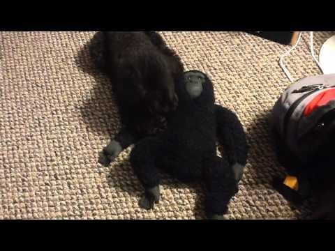 My Dog Loves A Gorilla