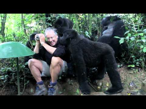 Touched by a Wild Mountain Gorilla short