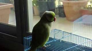 Ami ka totta! Mum's talking parrot