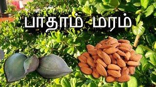 பாதாம் மரம் | Almond Tree | Footage Only