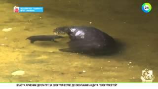 Любит воду и учится плавать: в зоопарке Мельбурна родился бегемот, Канберра, 28 июня 2015