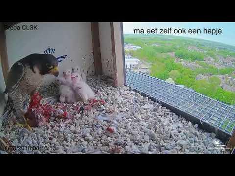 Slechtvalk Paartje slechtvalken in Breda
